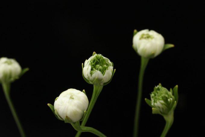 八重咲ウメバチソウ