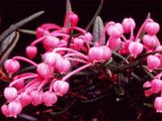 紅花ヒメシャクナゲ