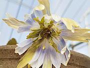 三段咲ユキワリイチゲ