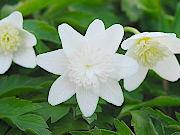 洋種八重咲イチリンソウ