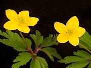 黄花ヒメイチゲ