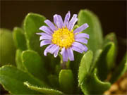 青花深山アズマギク Aster natalensis