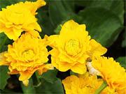 八重咲リュウキンカ