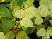 黄金葉ハンショウヅル