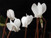 シクラメン ヘデリフォリウム 白花