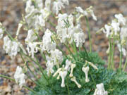 白花四季咲コマクサ(しろばなしきざきこまくさ)