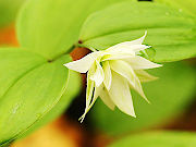 緑八重咲チゴユリ