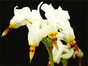 白花シクラメンモドキ