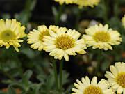 黄花アズマギク