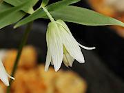 青軸白花ホソバナコバイモ