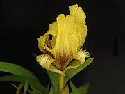 黄花ケイビアヤメ