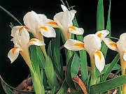 白花チャボアヤメ (イリス・ベルナ・アルバ)