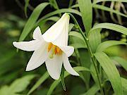 白花ヒメサユリ