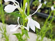 白花サワギキョウ