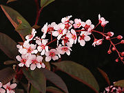 カラス葉赤花エゾウワミズザクラ