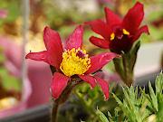 洋種赤花オキナグサ