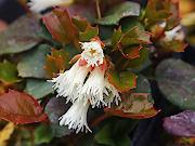 白花ヤマイワカガミ