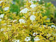 黄金葉コデマリ