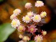 八重咲ナガバカラマツ