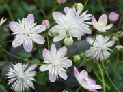 紫花台湾バイカカラマツ