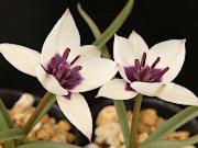 原種青花チューリップ (アルバ・コエルレア・オクラータ)