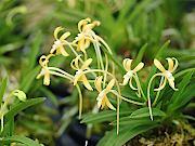 黄花フウラン
