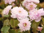 ピンク八重咲大輪バイカカラマツ