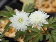 八重咲キクザキイチゲ 雪の精 (ゆきのせい)
