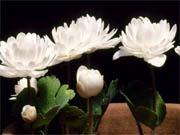 八重咲カナダケシ