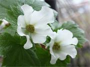 白花シラネアオイ 養生苗