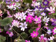 雪割草 実生標準花良花 4ポットセット (ゆきわりそう みしょうひょうじゅんかりょうか 4ぽっとせっと)