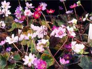 雪割草 実生標準花良花 7ポットセット (ゆきわりそう みしょうひょうじゅんかりょうか 7ぽっとせっと)