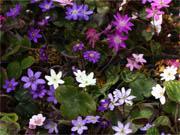 雪割草 標準花3ポットセット (ゆきわりそう ひょうじゅんか3ぽっとせっと)